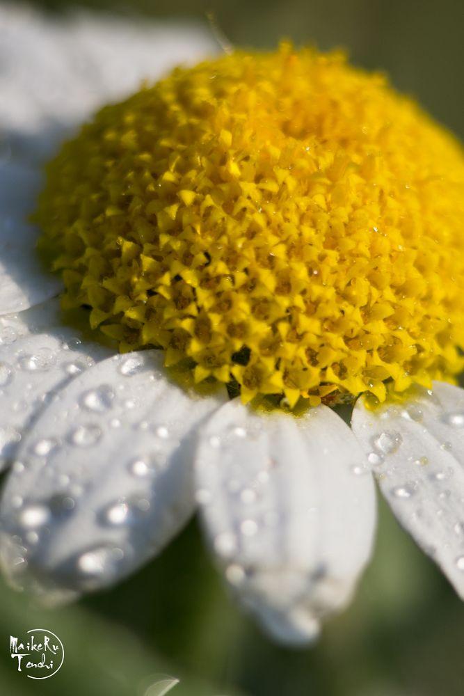 Photo in Macro #flor #macro #rocio #pétalos #polen