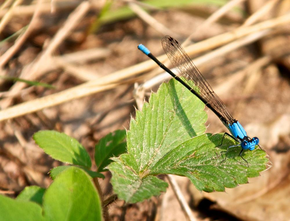 Photo in Nature #blue dragon fly