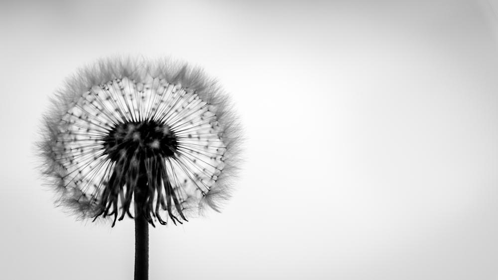 Photo in Nature #flower #dandelion #taraxacum #asteraceae #weeds #nikon #d600 #reidar murken