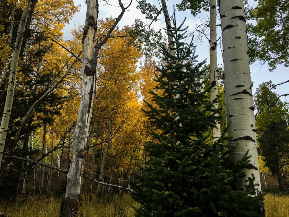 Photo in Landscape #christmas #fall #aspens