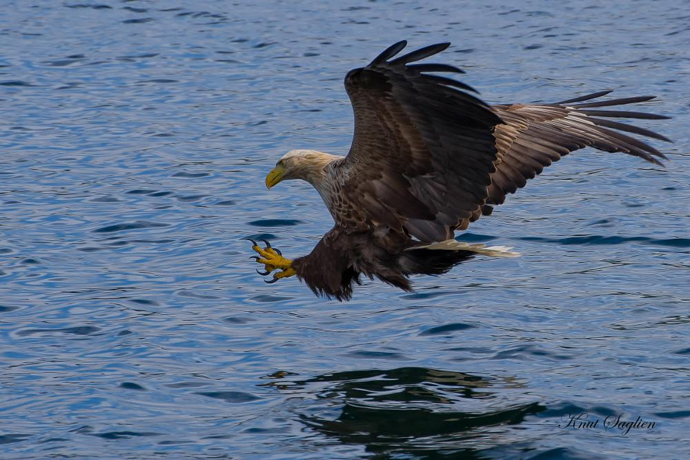 Photo in Nature #eagle #sea #fedje #norway #fish #sea eagle
