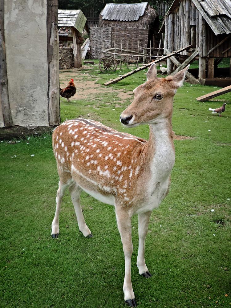 Photo in Animal #deer #fallow deer #nature #wildlife