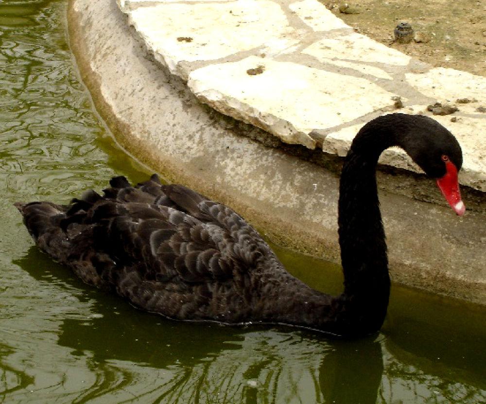Photo in Random #swan #bird