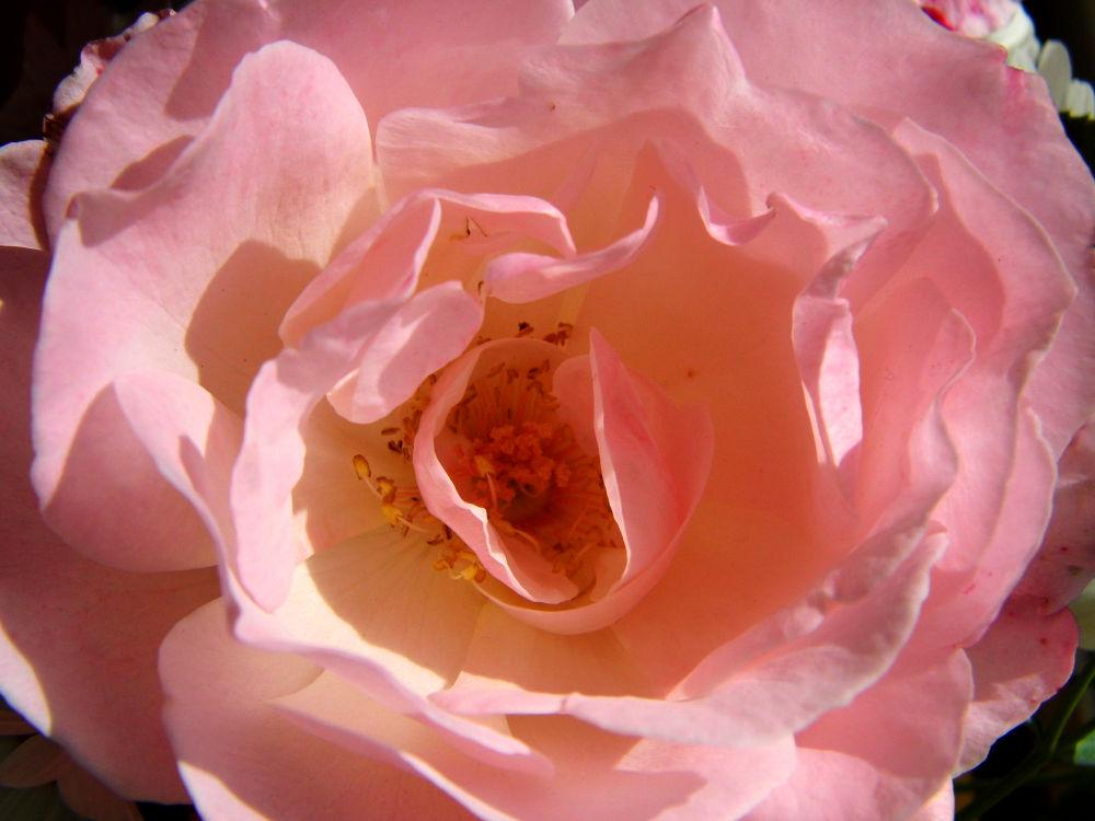 Photo in Random #rose #flower