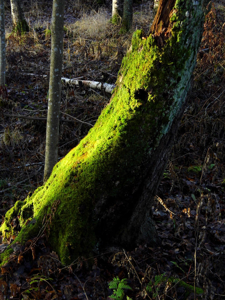 Photo in Random #trunk #tree #moss #winter #finland #morning #forest