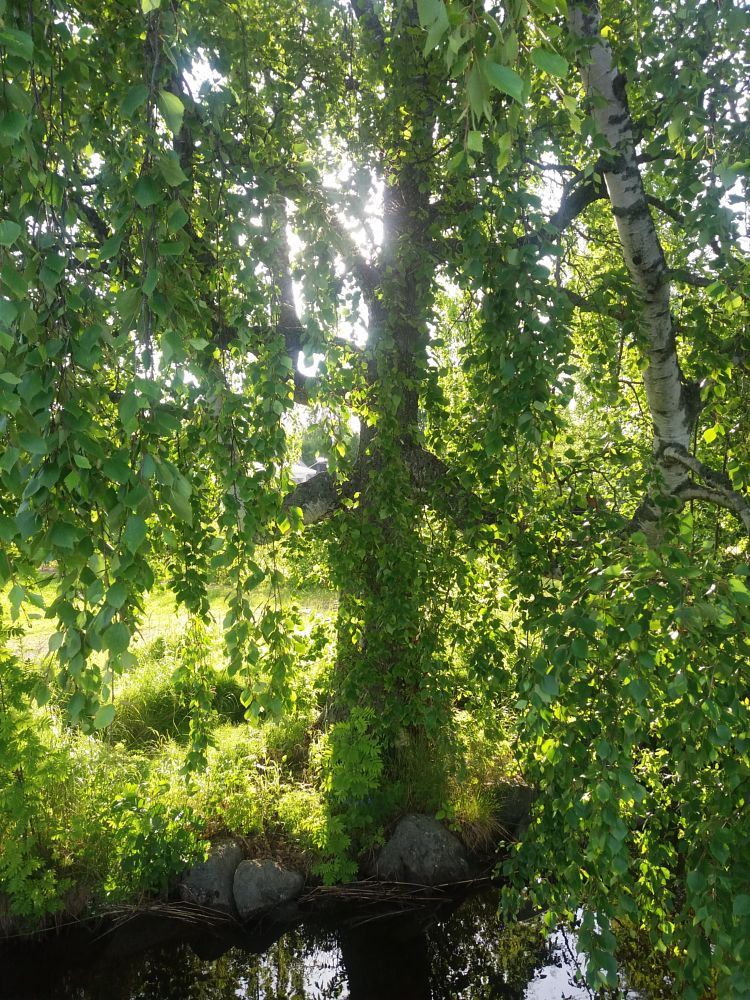 Photo in Nature #tree #summer #lake #green #leaves