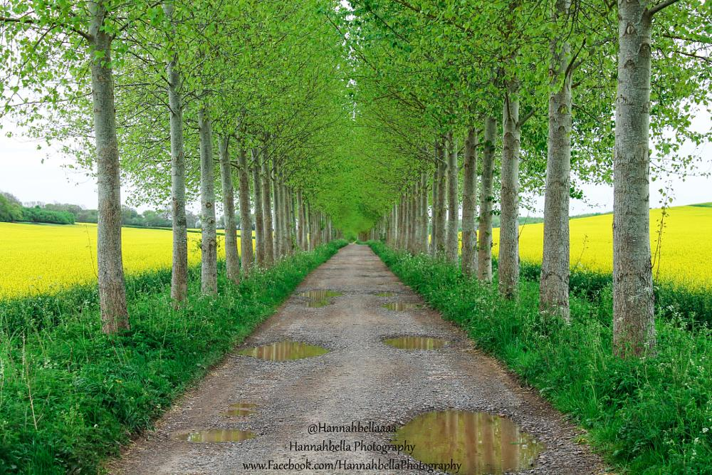 Photo in Landscape #berkshire #countryside #avenue #springtime #rapeseed fields #birch trees #trees #birch #rows #road #vanishing point