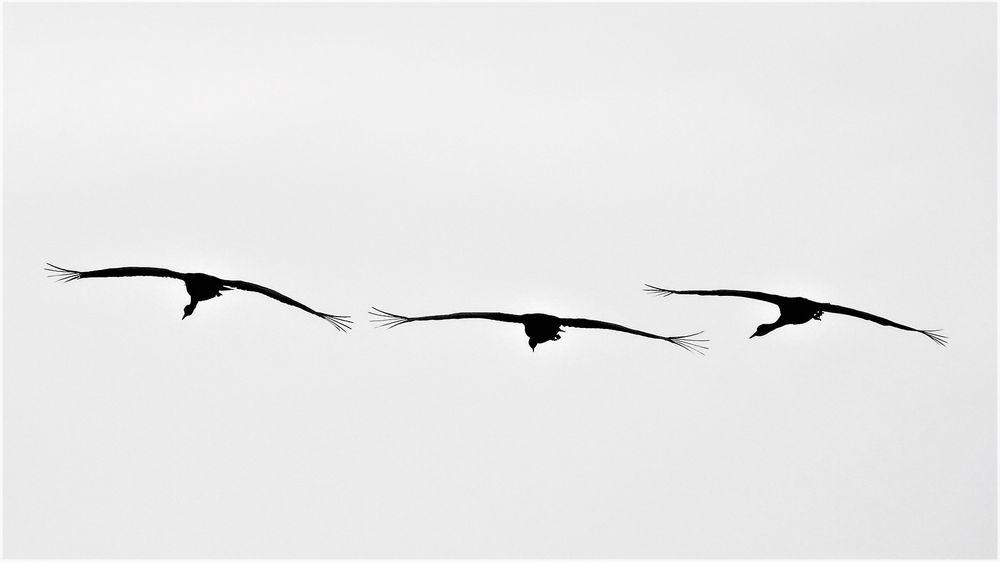 Photo in Animal #crane #bird #flying #birds