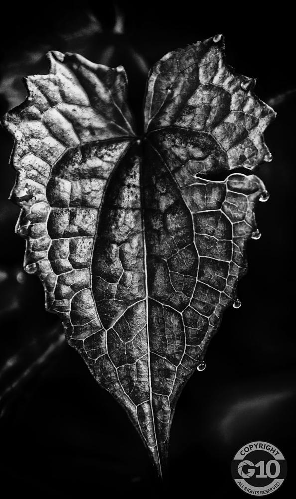 Photo in Black and White #quaco #bush #healing plant #plant photography #macro #closeup #sigmalens #70d #canon #leaf #leafphotography