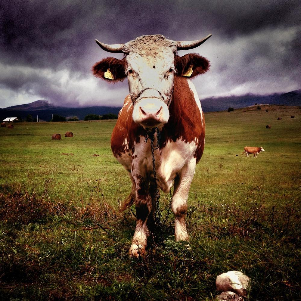 Photo in Nature #cow #grazing #meadow #pasture #croatia #lika
