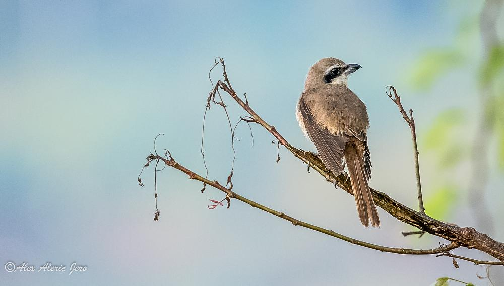 Photo in Animal #brown shrike #birds #animal #alexaldericjero #tamil nadu #nagercoil #india