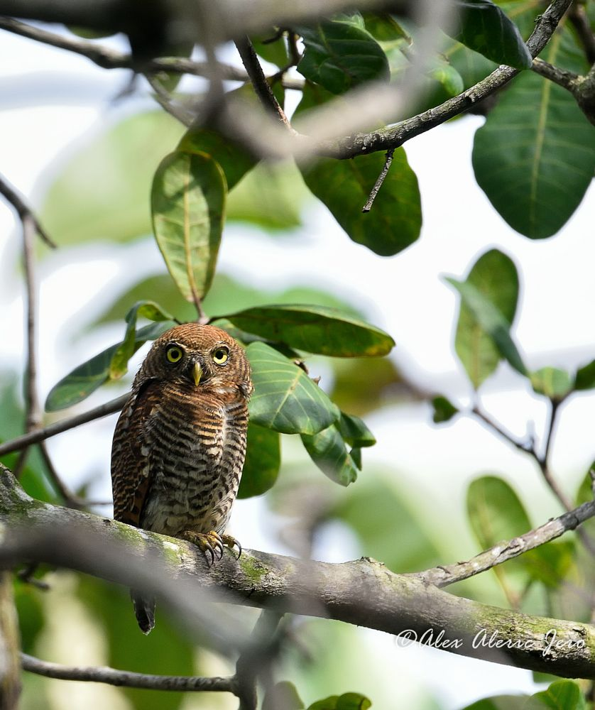 Photo in Animal #jungle owlet #bird #nature #kanyakumari #nikon #tamron