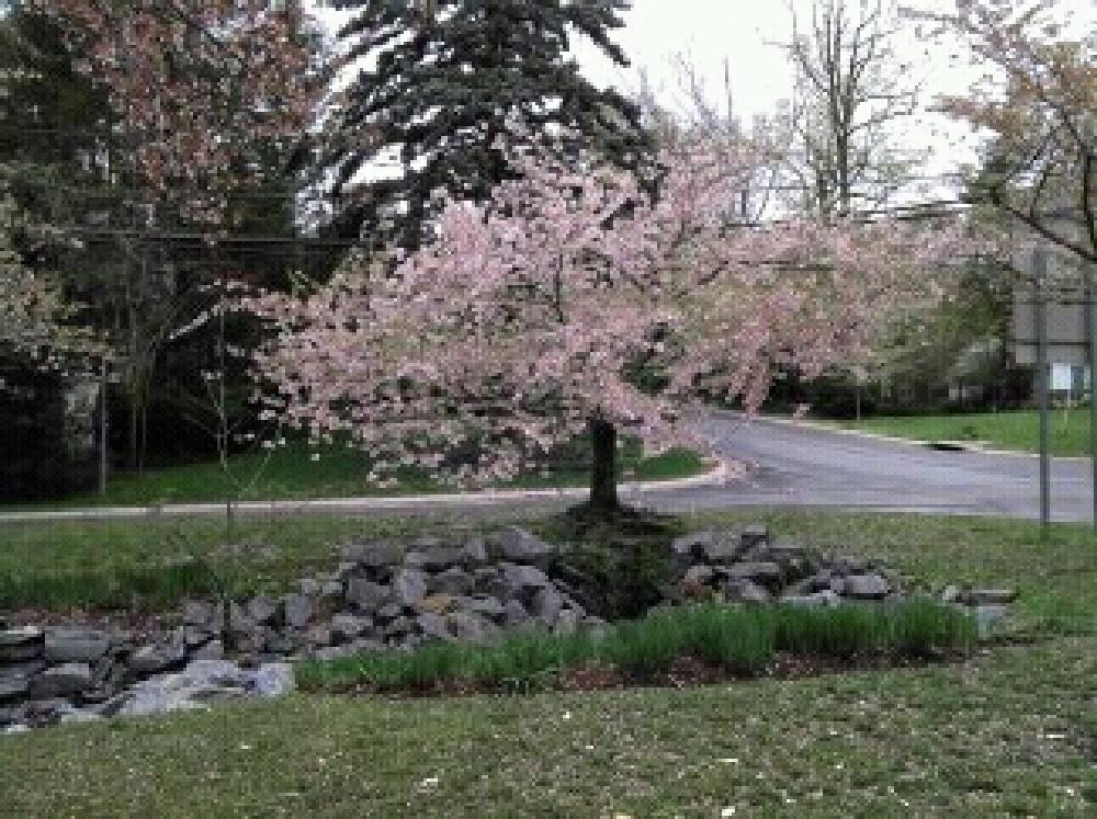 Photo in Nature #cherry blossom tree #trees #springtime #pink flower tree
