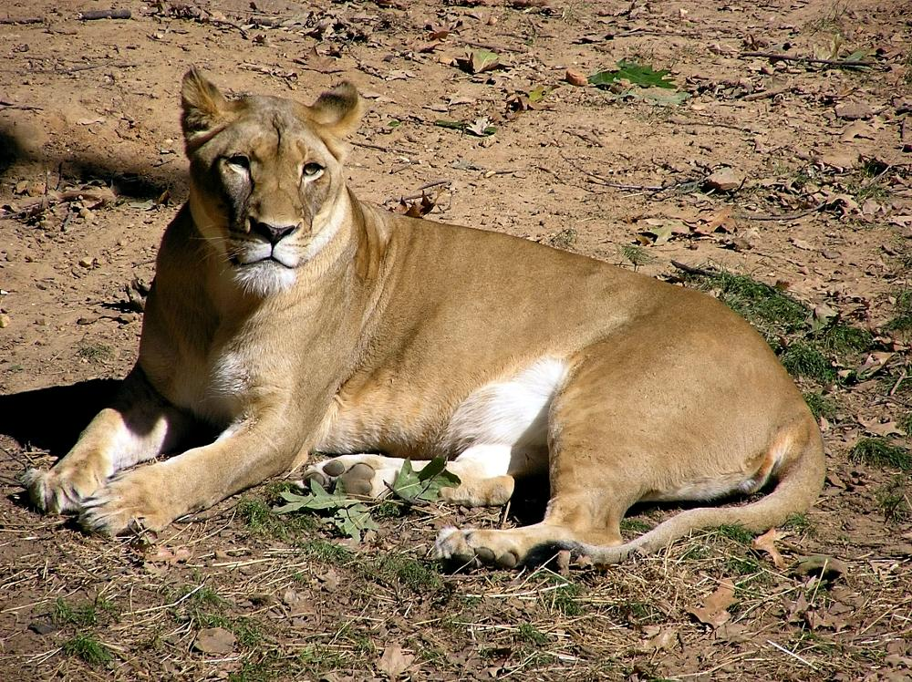 Photo in Animal #lion