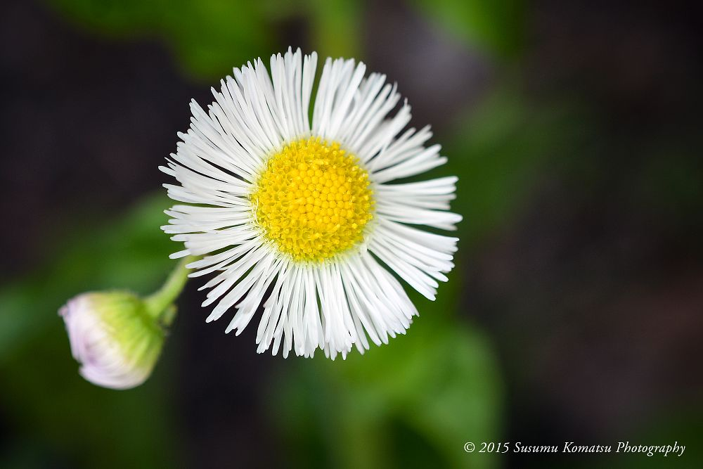 Photo in Macro #daisy #white #wildflower #flower