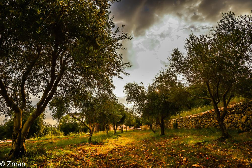 Photo in Landscape #olive trees #sawaneh #our place #sunrise