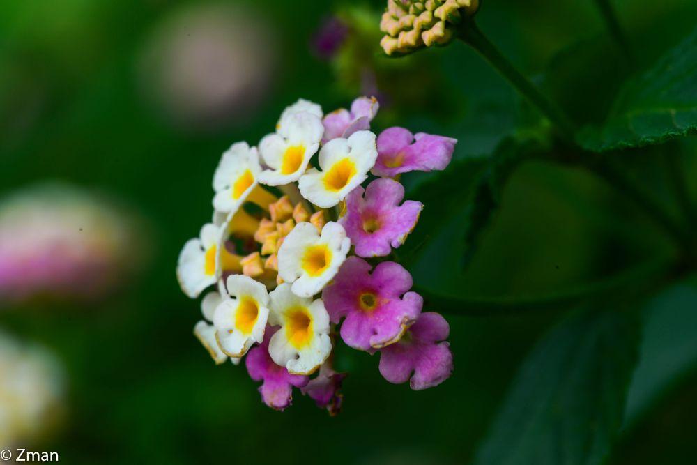 Photo in Nature #yellow #pink #wild #flowers #sawaneh