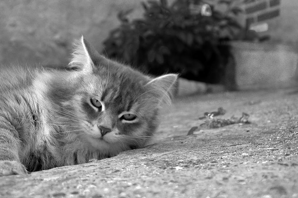 Photo in Black and White #cat #siberian #black & white