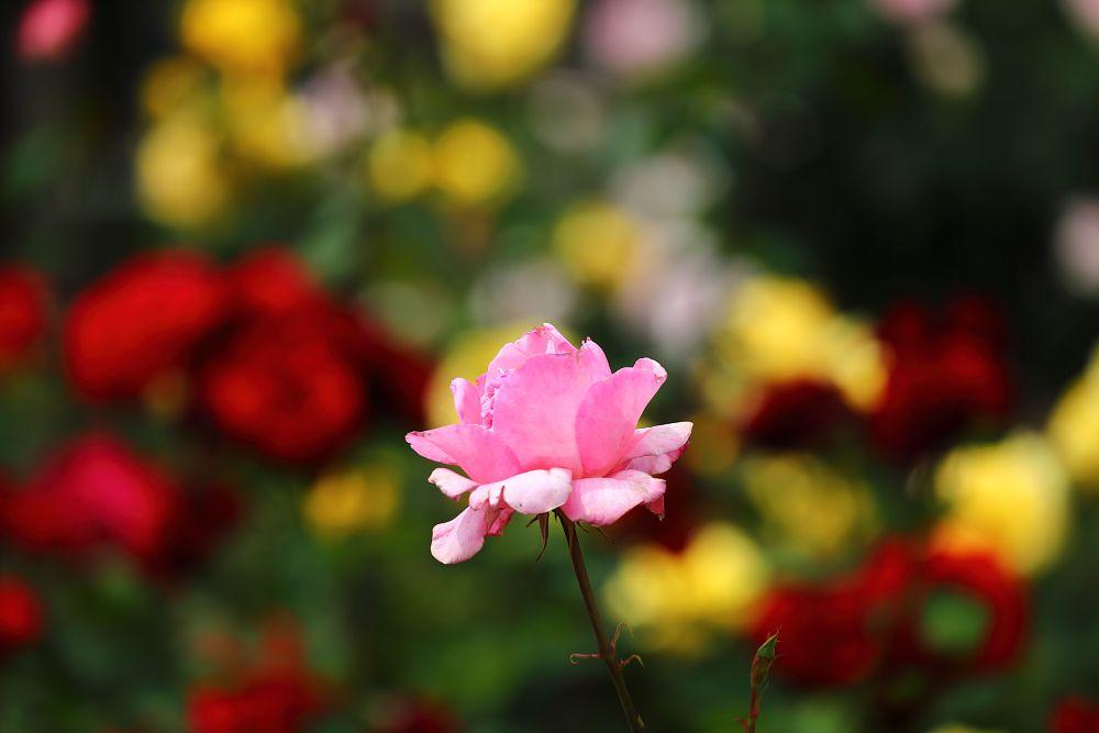 Photo in Nature #rose #bara #ina