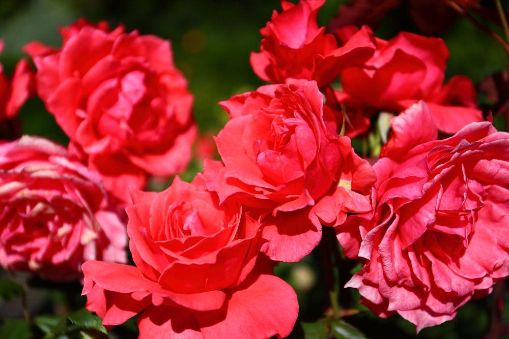 Photo in Nature #rose #botanic #hagley