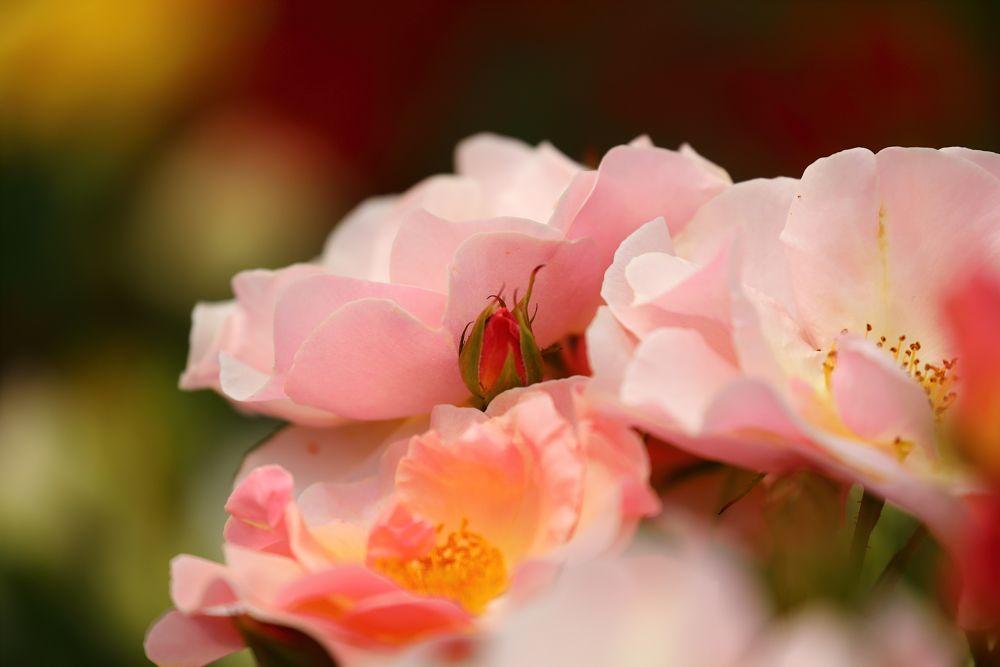 Photo in Macro #rose #bara #ina
