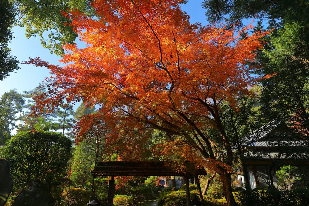 Photo in Random #anraku #temple #yoshimi #momiji