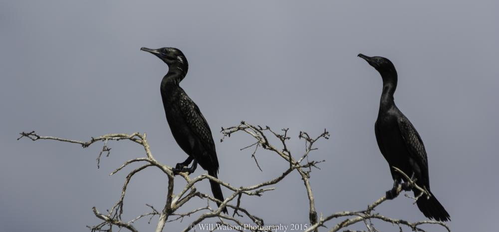 Photo in Animal #little black cormorant #bird #animal #australia #nature #wildlife