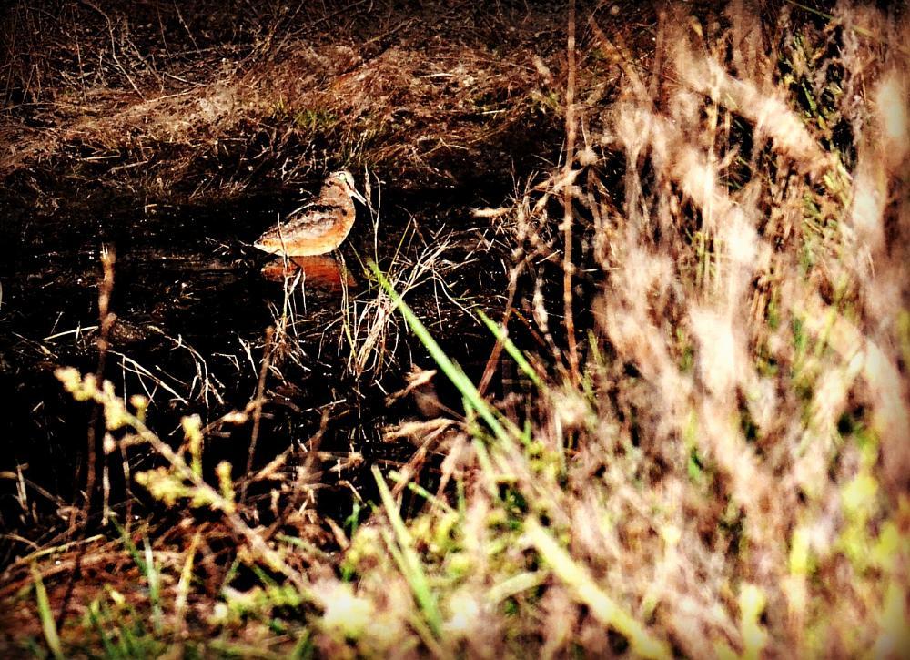 Photo in Animal #bird #snipe #night #water #mud