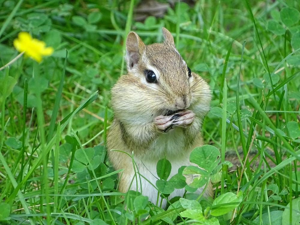 Photo in Nature #chipmunks #eastern chipmunks #animals #nature #critters