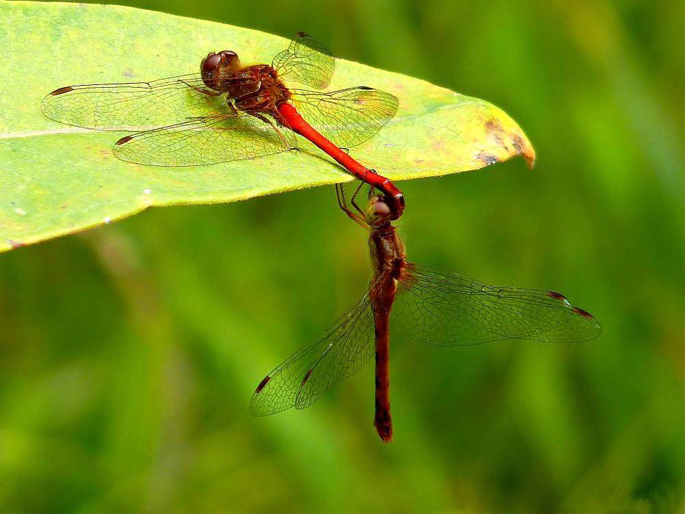 Photo in Nature #ruby meadowhawks #dragonflies #nature