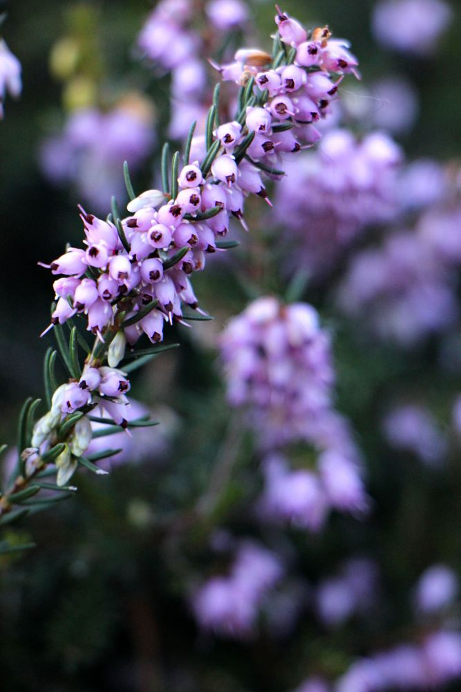 Photo in Nature #purple #flowers
