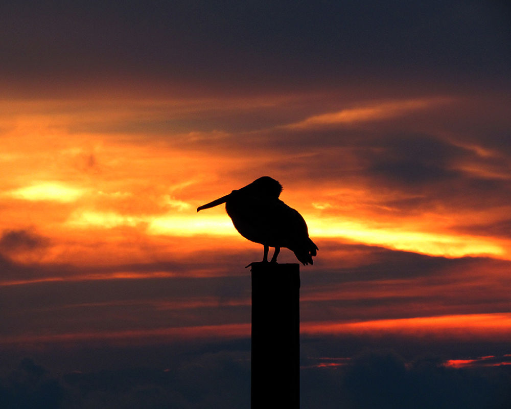 Photo in Animal #birds #pelicans
