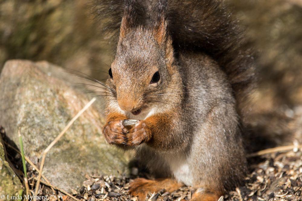 Photo in Animal #squirrel #canon #nature #sweden