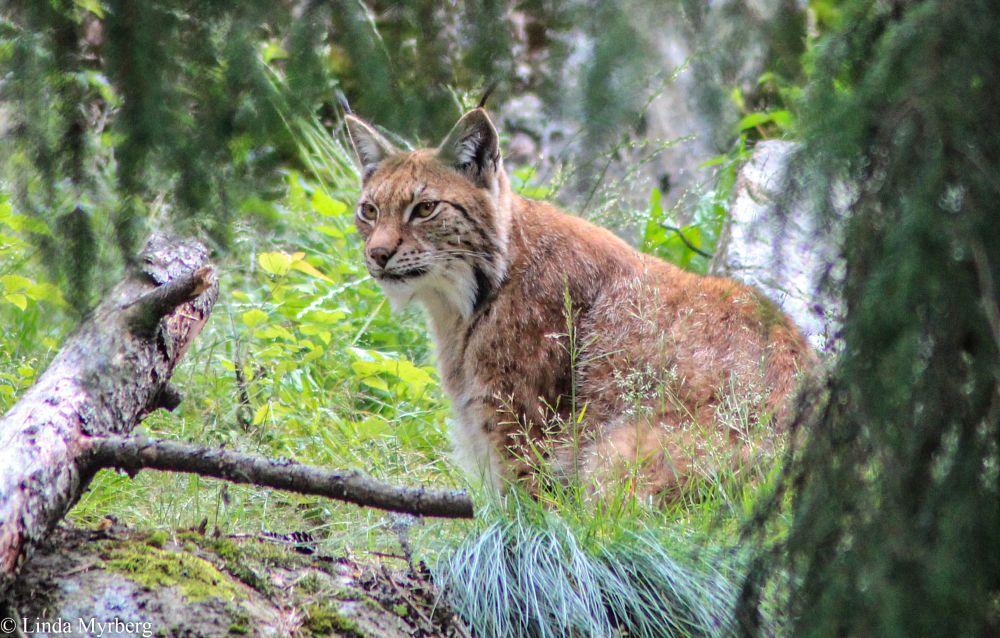 Photo in Animal #lynx #sweden #canon #nature #animal #järvzoo