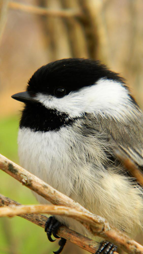 Photo in Nature #bird #chickadee #close up #face #nature #wildlife