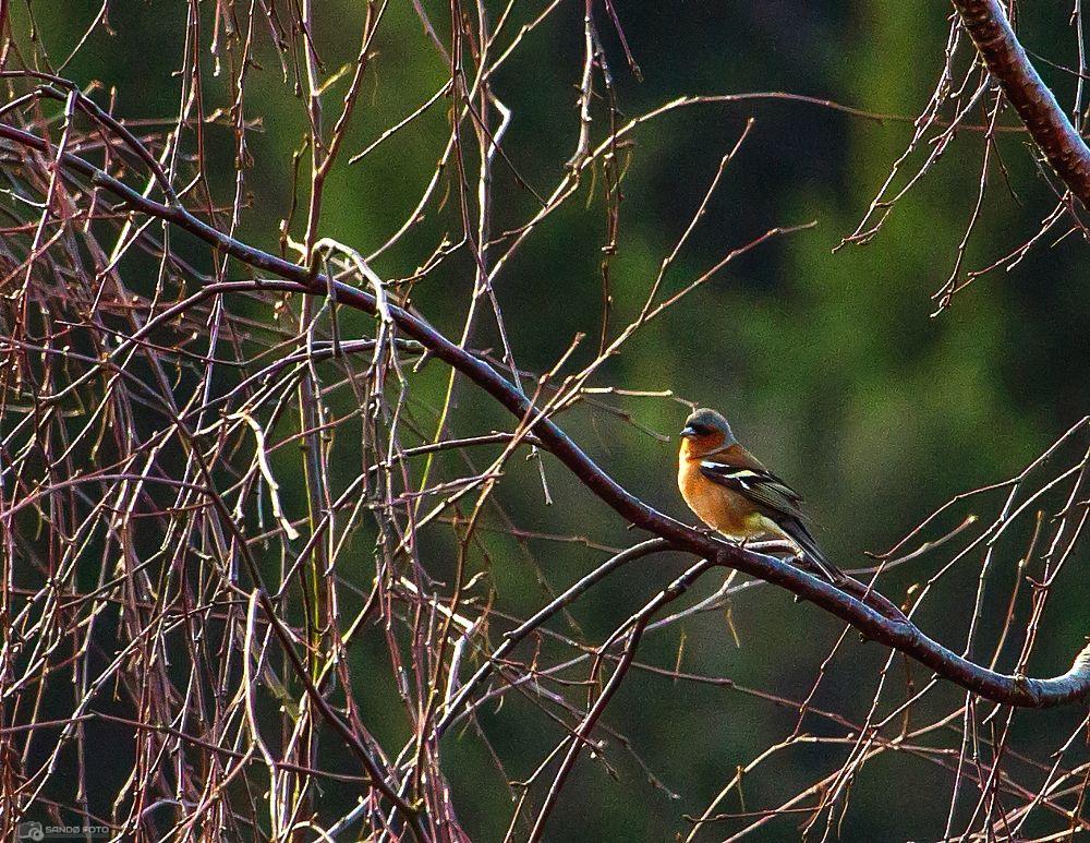 Photo in Animal #chaffinch #bird #bokfink #fugl #beak #animal #branches #colorful #nature