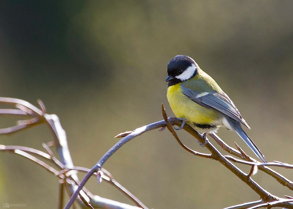 Photo in Animal #the great tit #bird #wildlife #wild #animal
