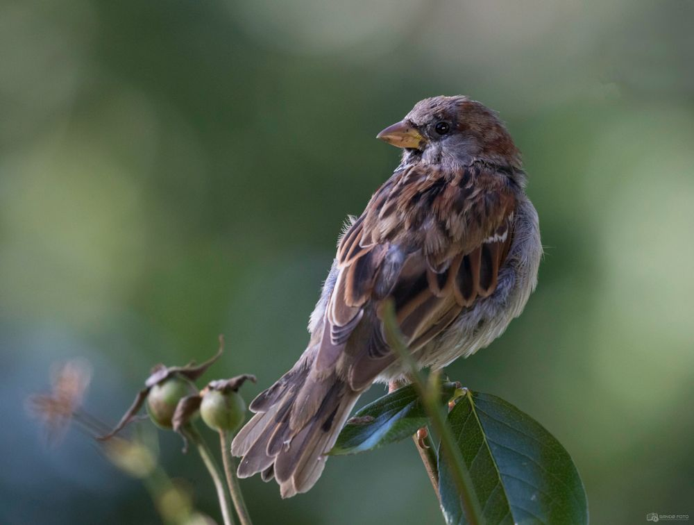 Photo in Animal #sparrow #bird #wildlife #wild #nature