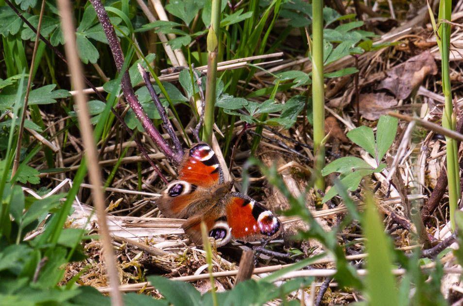 Photo in Animal #animal #biofotosyd #camera #d7200 #fjärilar #göinge biologiska förening #kvalitetstid #landscape #nature #naturum #nikon #påfågelöga (inachis io) #sweden2020 #tyringe fotoklubb #walk #åraslövs mosse