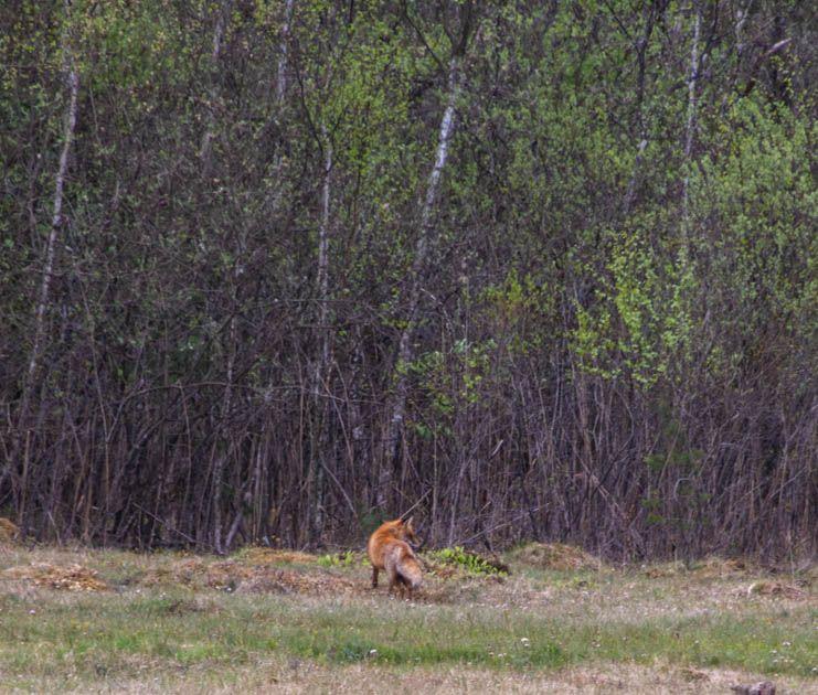 Photo in Animal #animal #biofotosyd #blommor #camera #d7200 #göinge biologiska förening #kvalitetstid #landscape #nature #naturum #nikon #rödräv (vulpes vulpes) #sweden2020 #tyringe fotoklubb #walk #åraslövs mosse
