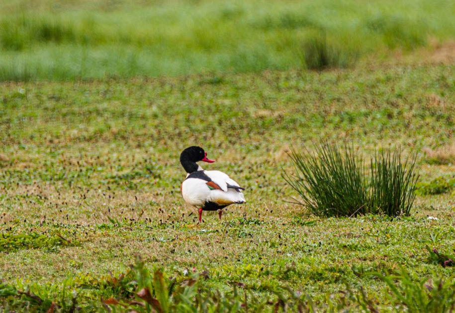 Photo in Animal #animal #biofotosyd #bird #camera #d7200 #gravand (tadorna tadorna) #göinge biologiska förening #kvalitetstid #landscape #nature #naturum #nikon #skrattmås (larus ridibundus) #sweden2020 #tyringe fotoklubb #vombs ängar #walk