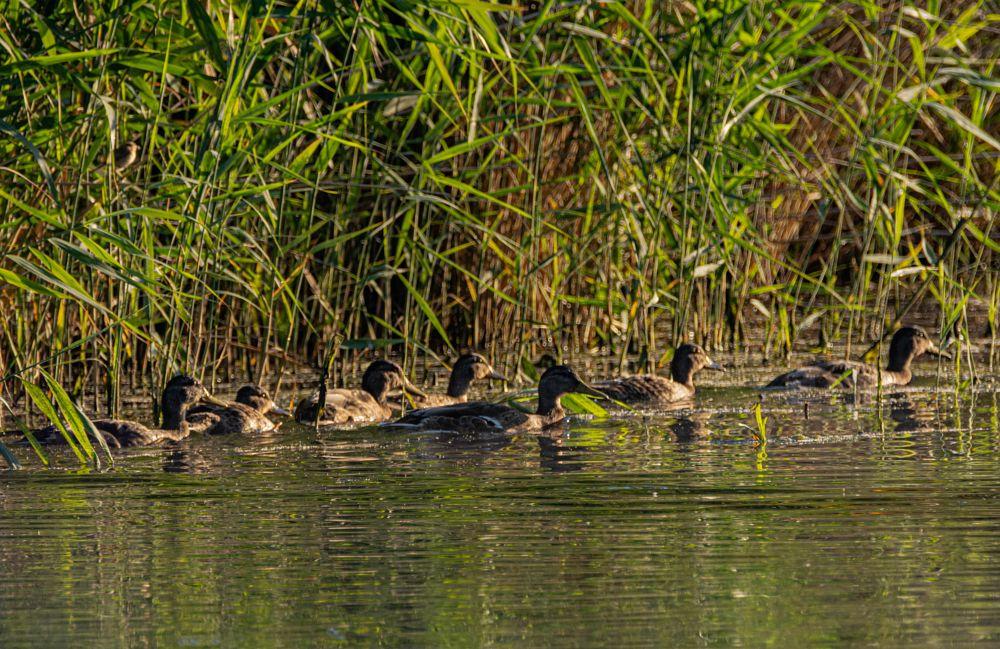 Photo in Animal #animal #biofotosyd #bird #göinge biologiska förening #landscape #magle wetland #nature #naturum #skedand  (anas clypeata) #sweden2019 #tyringe fotoklubb #walk