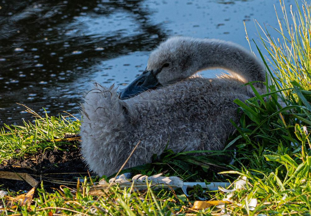 Photo in Animal #animal #biofotosyd #bird #göinge biologiska förening #knölsvan  cygnus olor #landscape #magle wetland #nature #naturum #sweden2019 #tyringe fotoklubb #walk