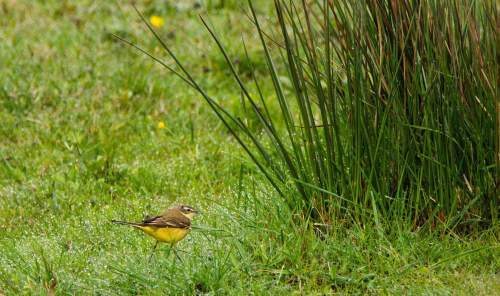 Photo in Animal #animal #biofotosyd #bird #camera #d7200 #gulärla  (motacilla flava) #göinge biologiska förening #kvalitetstid #landscape #nature #naturum #nikon #sweden2020 #tyringe fotoklubb #vombs ängar #walk