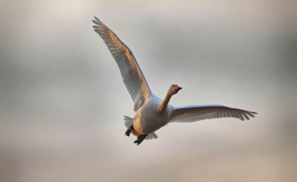 Photo in Animal #swan #flying #whooper #sweden #natore #bird