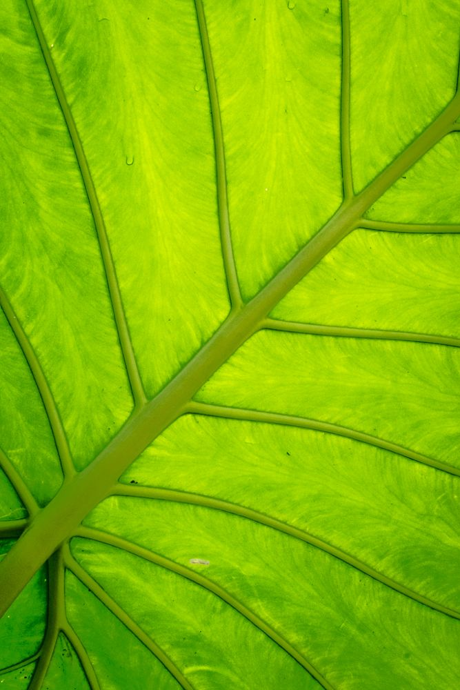 Photo in Nature #green #nature #elephant ear #lines #pattern #shape #detail #design #leaf