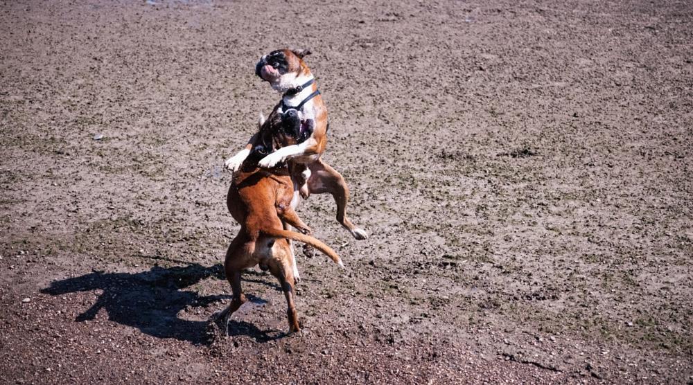 Photo in Animal #play #time #playtime #boxer #dog #walk
