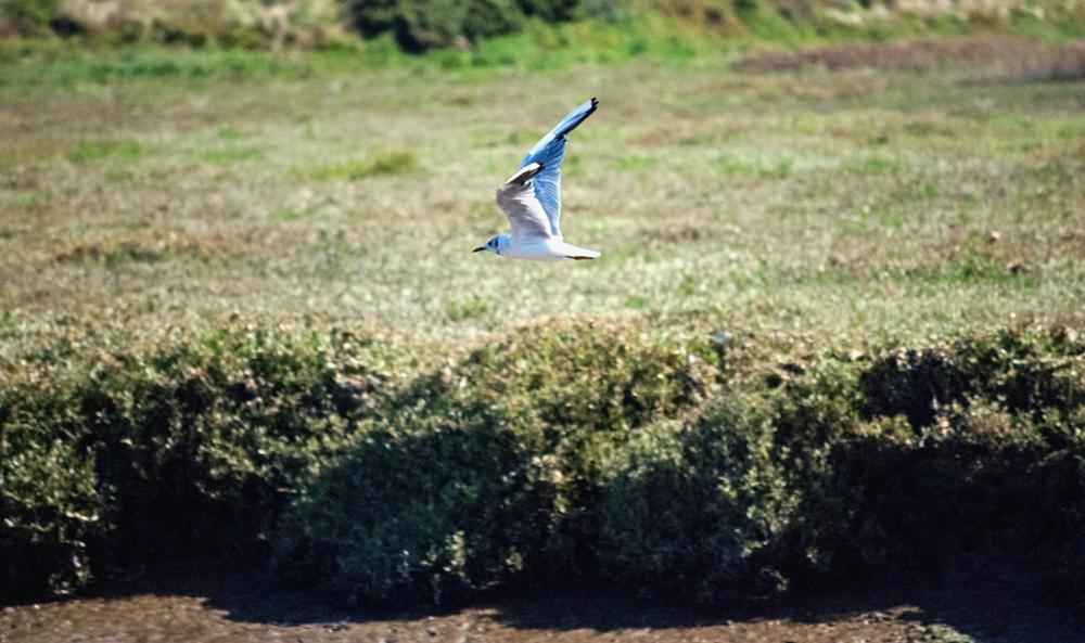 Photo in Animal #little #gull #bird #sea #fly