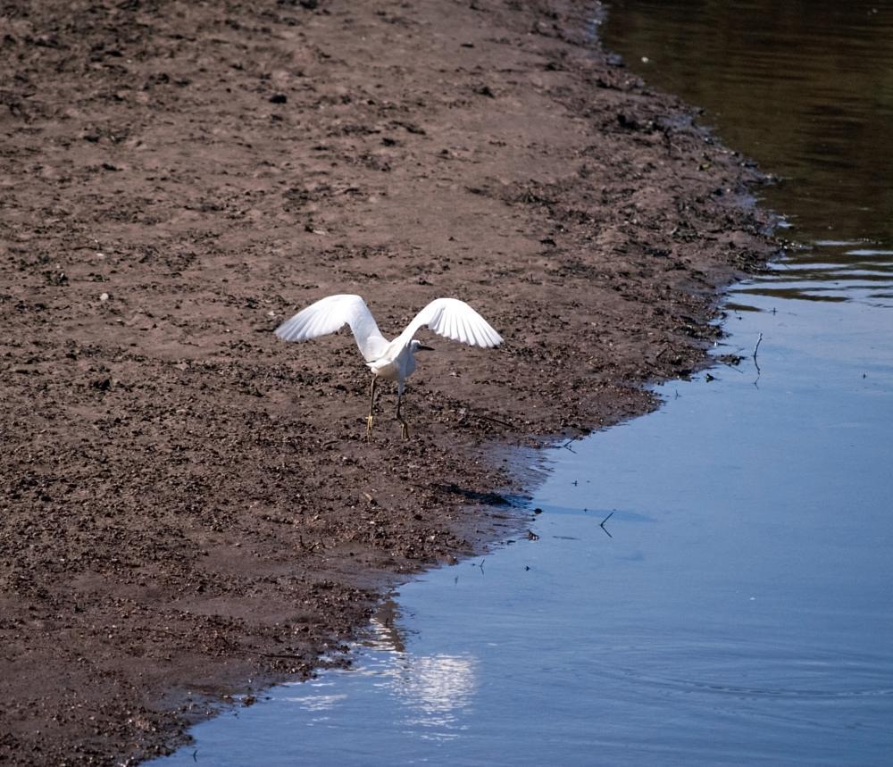 Photo in Animal #heron #bird #fly #land #landing #water