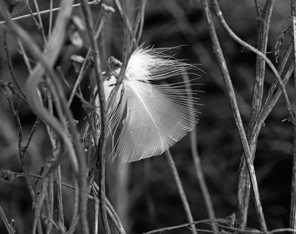 Photo in Abstract #delicately #caught #feather #white #black